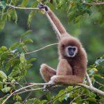 gibbon-experience