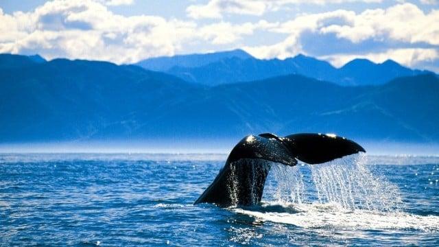 ballenas en kaikoura