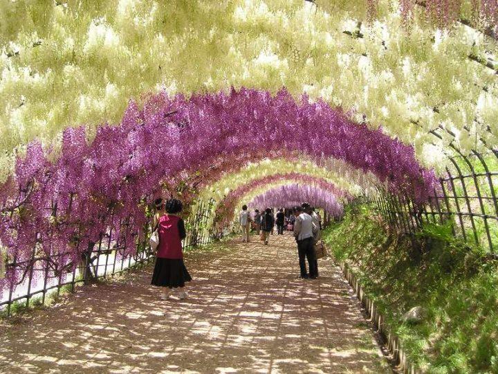 tunel de wisteria