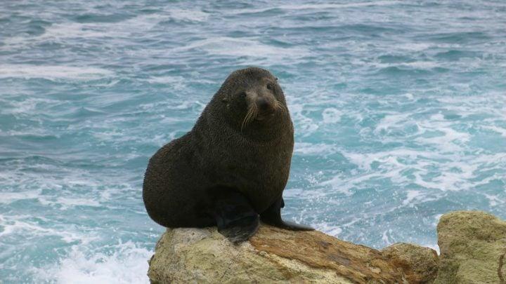 nueva zelanda lobo marino carlos