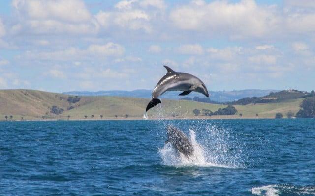 delfines nueva zelanda