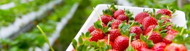 frutillas-dinamarca
