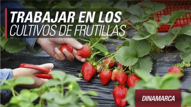 trabajar-dinamarca-frutillas