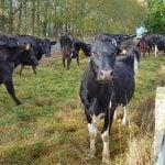 vacas tambo nueva zelanda