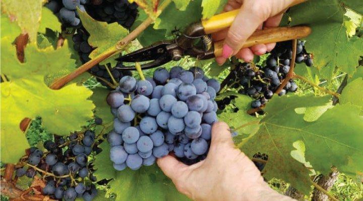 grapes pick